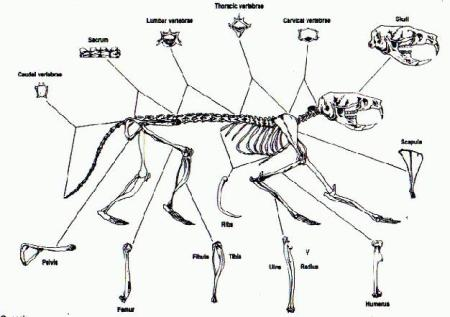 diagram courtesy of http://imgarcade.com/1/rodent-skeleton-diagram/